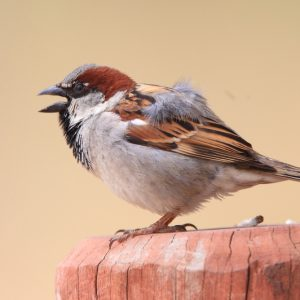 City Sparrows came to Australia via India