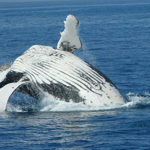 Whale of a Problem: Why Humpback Whales Protect Other Species From Attack?