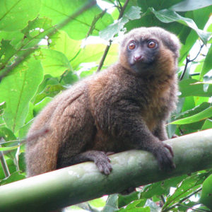 The Golden Bamboo Lemur