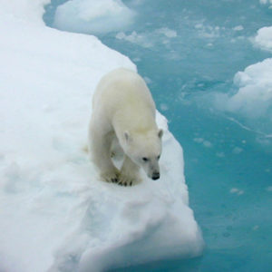 Polar Bears Need to be Fat, They Can't be Without Sea Ice