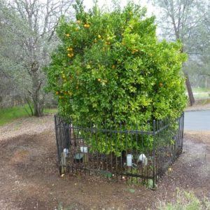 A Survivor of the Gold Rush: An Orange Tree in Oroville